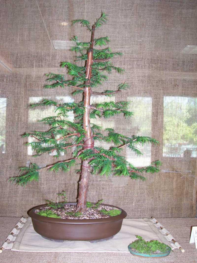 Metasequoia Glyptostroboides Dawn Redwood Badger Bonsai Society Madison Wi Area