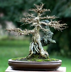 articles � badger bonsai society madisonwi area