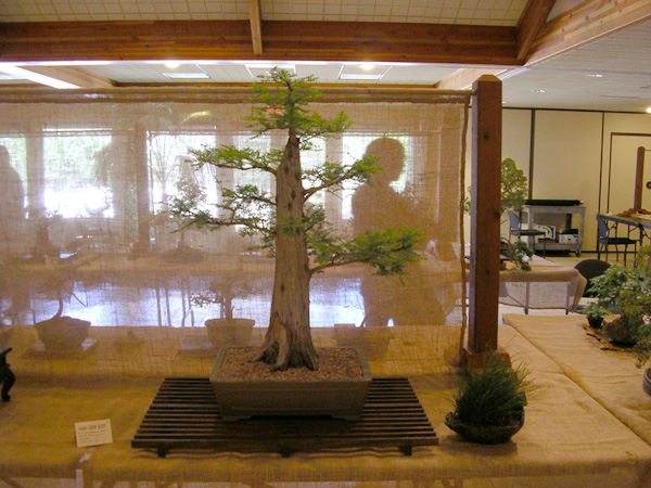 Ron's Bald Cypress