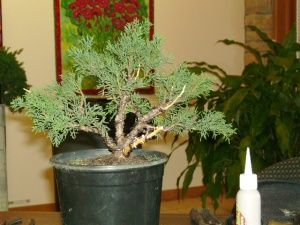 Ron's Saturday juniper demo (after)